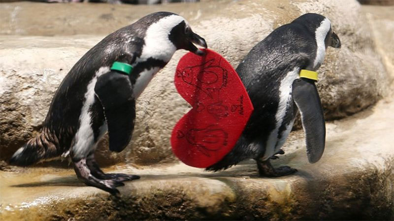 Valentine's Penguins