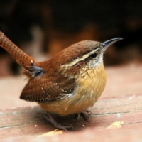 The Wren my mother sent.